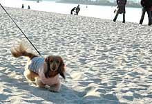 浜辺を歩く天ちゃん