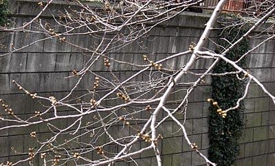 目黒川の桜(蕾)