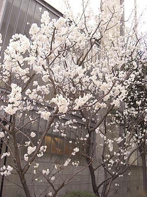 A.P.C.横の桜